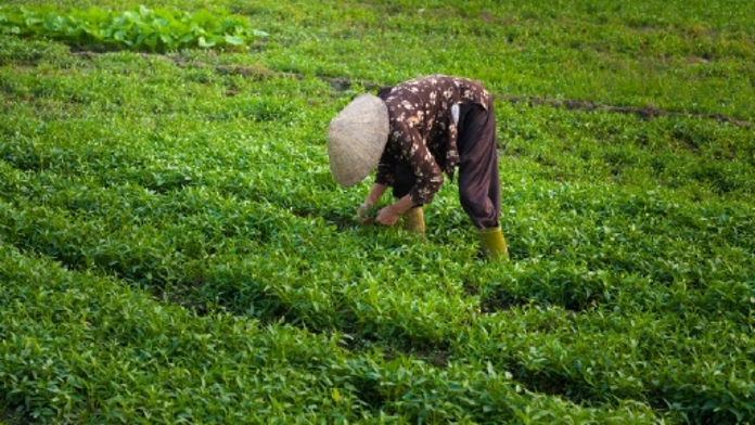 Bäuerin in Vietnam bei der Arbeit auf dem Feld