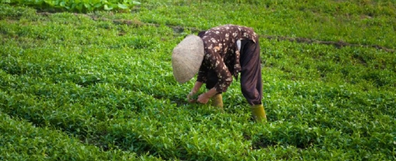 Vietnamese women working on the field