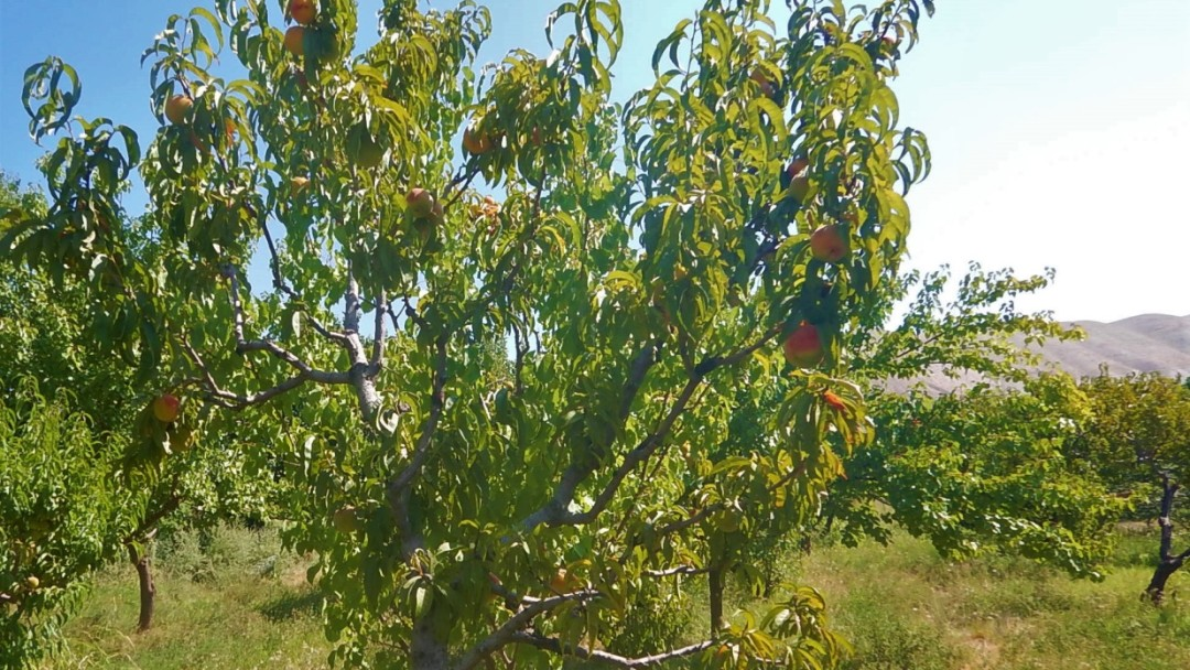 One of many groves of apricot trees in Armenia. They produce big succulent apricots when the weather cooperates.