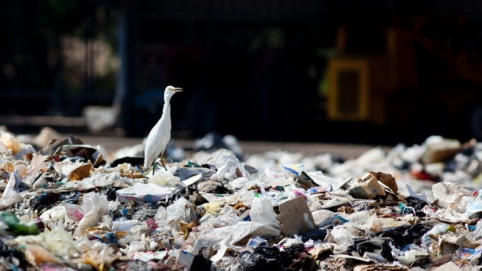 Seagull on a mountain of rubbish