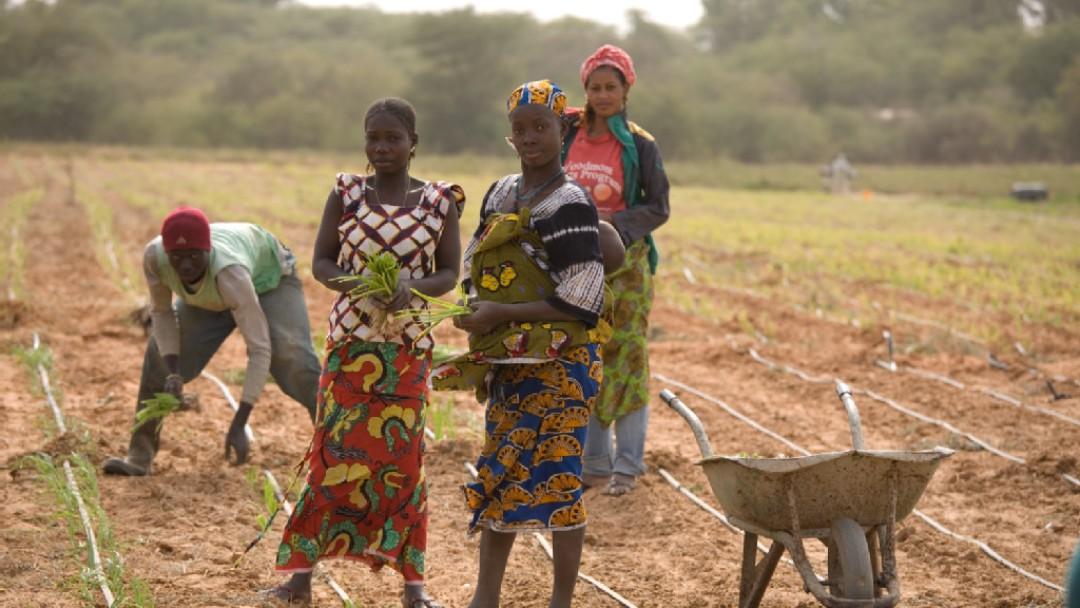 Feldarbeiterinnen auf einem Gemüsefeld