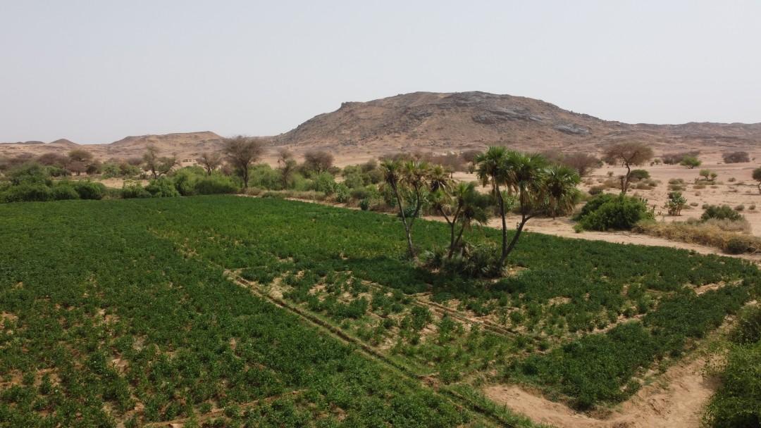 Kartoffelacker umgeben von Palmen und Bergen