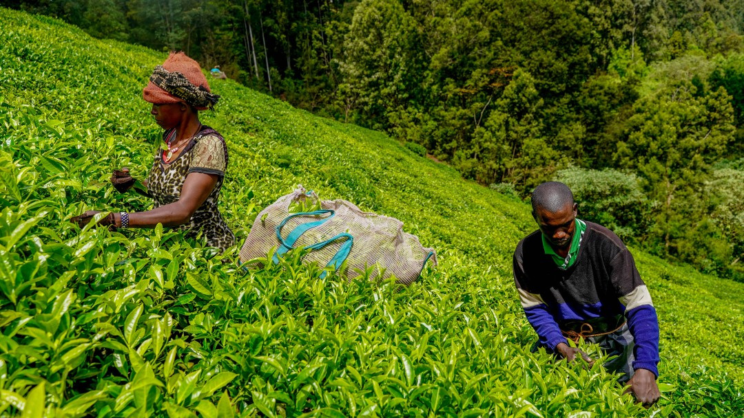 Ein Mann und eine Frau auf einer Teeplantage