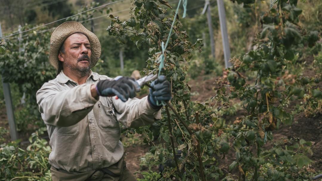 Ein Obstbauer schneidet seine Brombeerstöcke