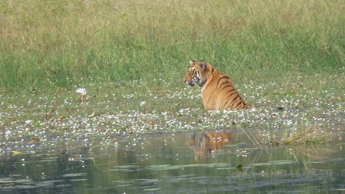 Tiger sitting in the water