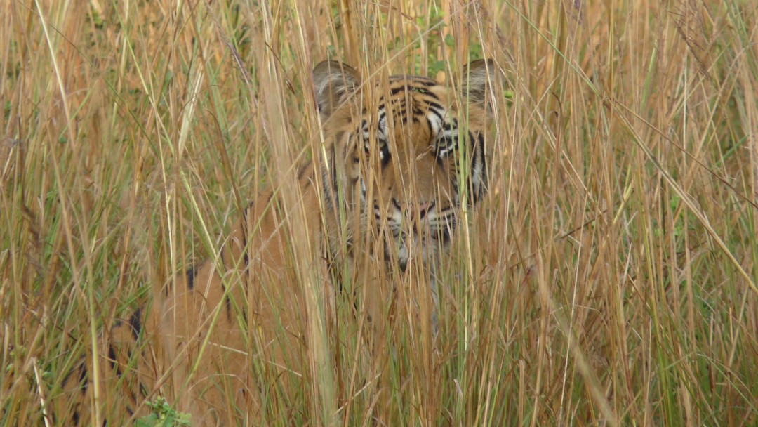 Tiger lying in the bushwood