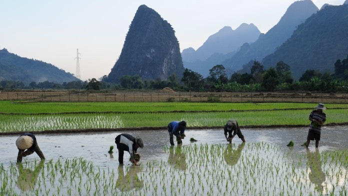Paople harvesting rice in Laos