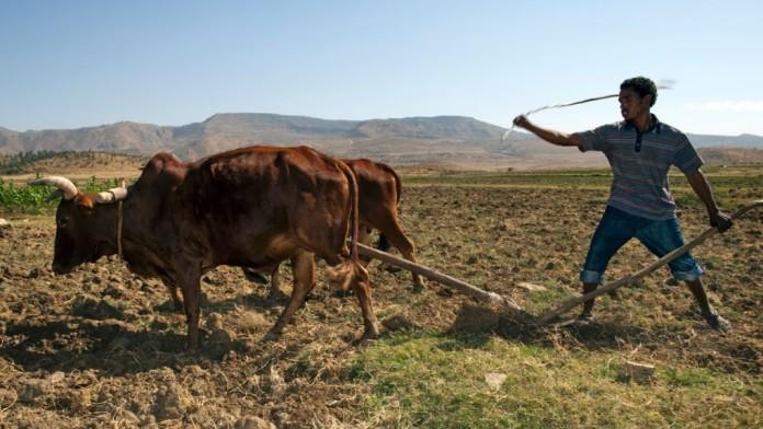 Ein Mann bestellt ein Feld mit einem Pflug und zwei Ochsen