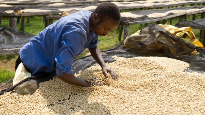 Ein Mitarbeiter wendet die hellen Kaffeebohnen mit den Händen