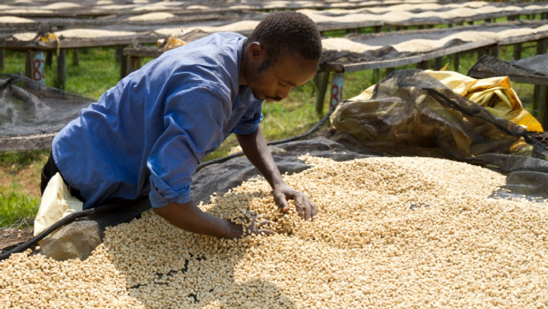 a men rotates the coffee beans by hand