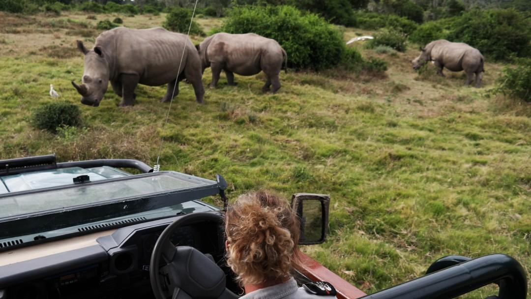 Blick aus einem Safari-Jeep auf drei Nashörner