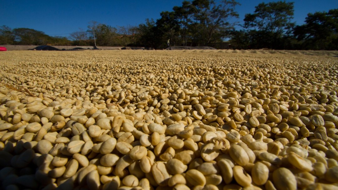 Production of sustainable coffee in Nicaragua.