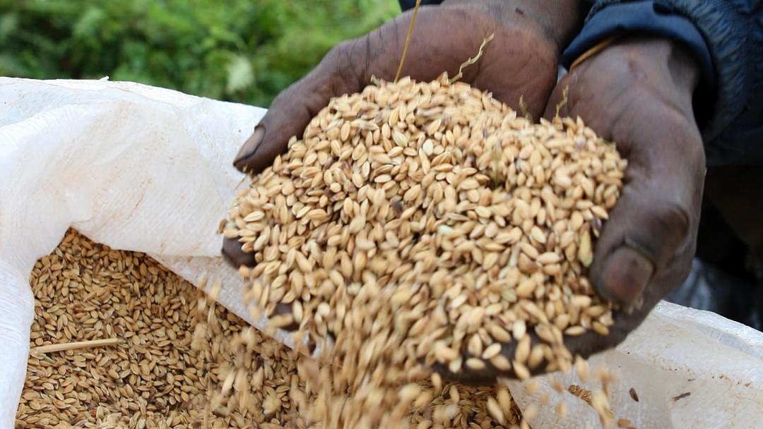 Geernteter Reis in zwei Händen über einem vollen Getreidesack